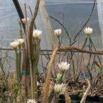 Фото 77: Echinocereus waldeisii