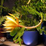 Фото 100: Epiphyllum anguliger