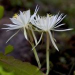 Фото 101: Epiphyllum hookeri