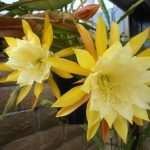 Фото 98: Epiphyllum orchid