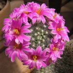 Фото 39: Mammillaria boolii