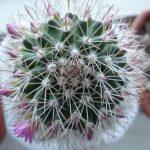 Фото 42: Mammillaria bakeberga