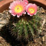 Фото 47: Notocactus herteri