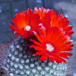 Фото 60: Parodia sanguiniflora