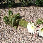 Фото 72: Trichocereus candicans Cactaceae