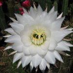Фото 73: Цветение трихоцереуса белеющего