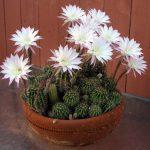 Фото 105: Цветение эхинопсиса