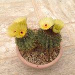 Фото 49: Notocactus buiningii