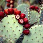 Фото 52: Опунция с ягодами