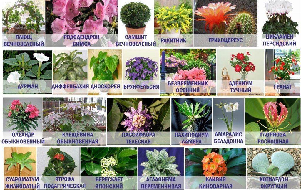 Смертельно ядовитые комнатные растения