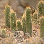 Фото 3: Африканские пустынные кактусы