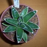Фото 29: Выращивание агавы королевы Виктории в домашних условиях