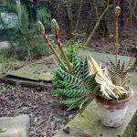 Фото 50: Aloe variegata – Tiger Aloe