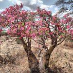 Фото 34: Пустынный адениум