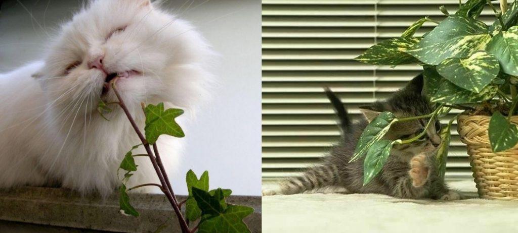 Вред плюща для домашних животных