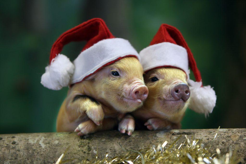 Рождественские поросята