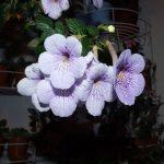Фото 24: ахмиенес с лиловыми цветками