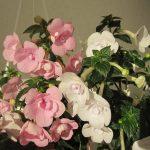 Фото 26: белые и розовые ахименесы