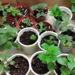 Фото 28: выращивание ахименесов