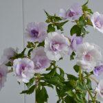 Фото 45: растение ахименес
