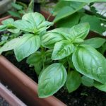Фото 36: растение базилик фото 4