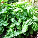 Фото 37: растение базилик фото 5