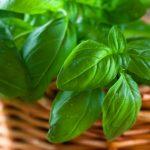 Фото 39: растение базилик фото 7