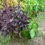 Фото 40: растение базилик фото 8