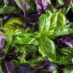 Фото 42: растение базилик