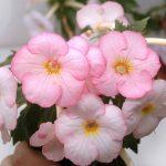 Фото 47: розовые ахименесы