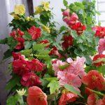 Фото 50: цветение ахименеса