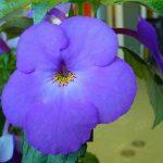 Фото 51: цветок ахименеса