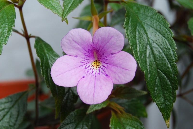 цветок ахимнеса