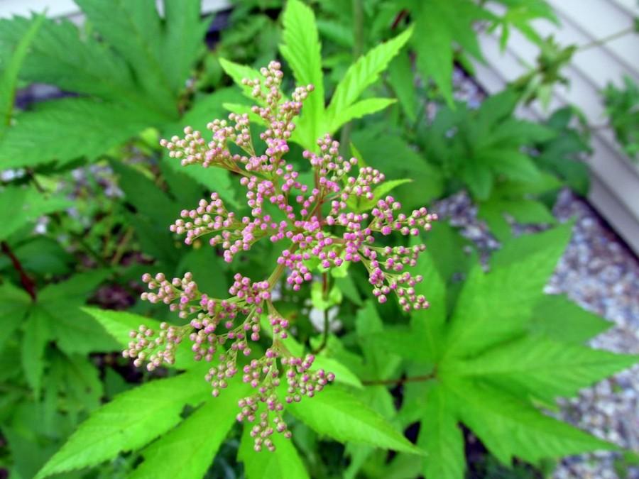 Луговое растение
