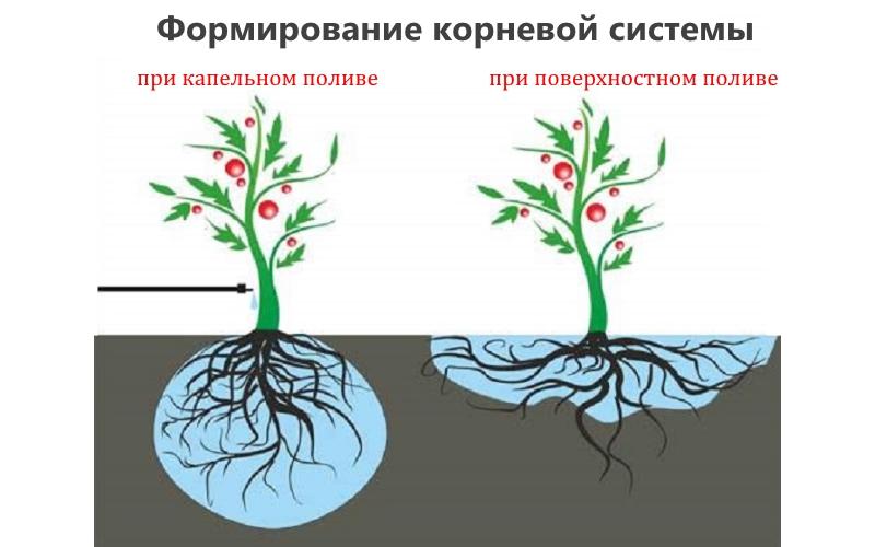 Формирование корневой системы при капельном и поверхностном поливе