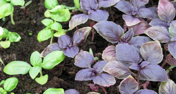 Подрастающий синий и зеленый базилик на открытом грунте