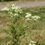 Фото 28: многолетние листопадное растение таволга