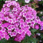 Фото 59: Сиреневые цветы