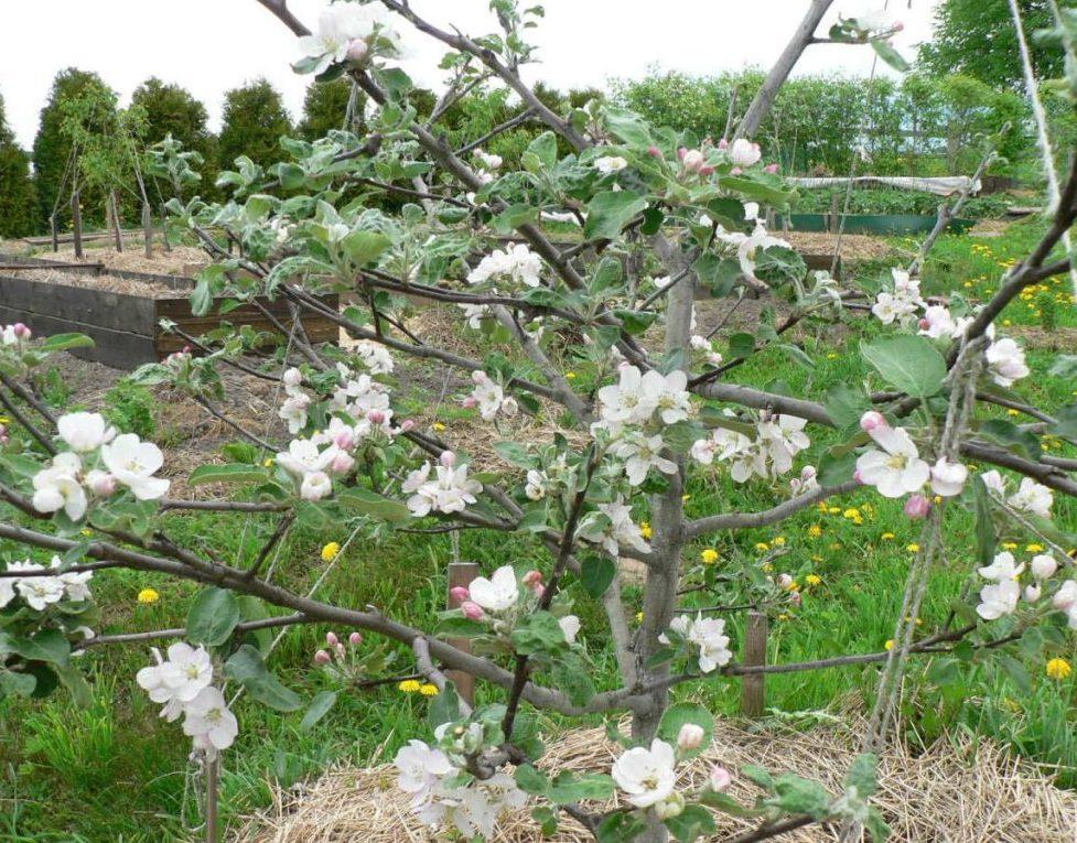 Цветение яблони медуницы