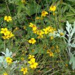 Фото 9: Растение череда
