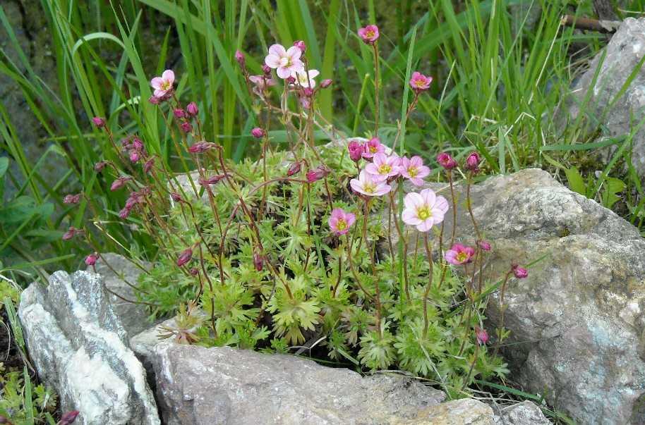 Нежно розовое соцветие камнеломки