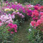 Фото 4: Флоксы в саду