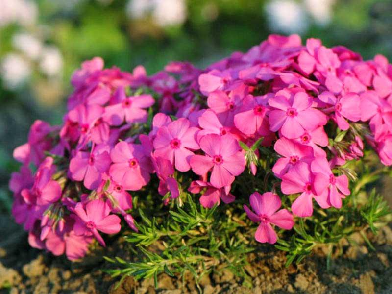 Шиловидные флоксы - цветы созданные для ландшафтного дизайна