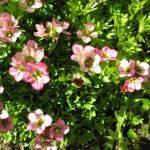 Фото 61: Нежно розовая камнеломка