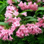 Фото 13: Розовые лепестки вейгелы
