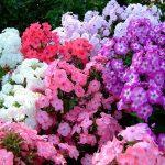 Фото 13: Садовые цветы