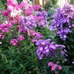 Фото 5: Флоксы в саду