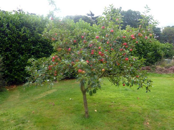 Летняя яблоня медуница в саду