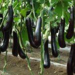 Фото 6: Сорт черных баклажан