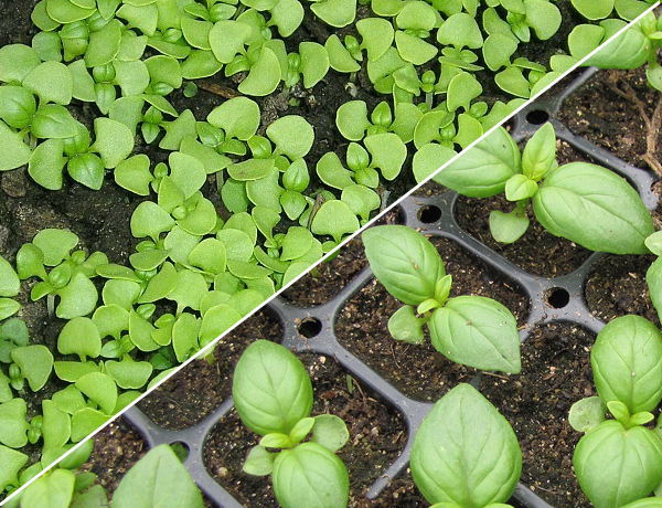 Как правильно выращивать базилик из семян